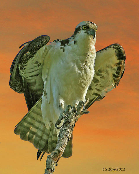 Photograph - Resting Osprey At Sunset by Larry Linton