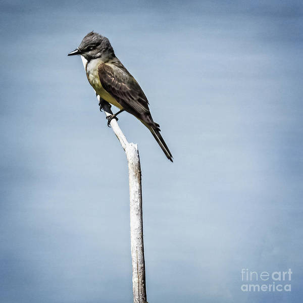 Wall Art - Photograph - Resting Say's Phoebe by Robert Bales