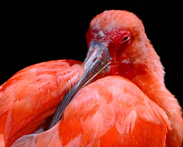 Photograph - Resting Scarlet Ibis by Donna Proctor