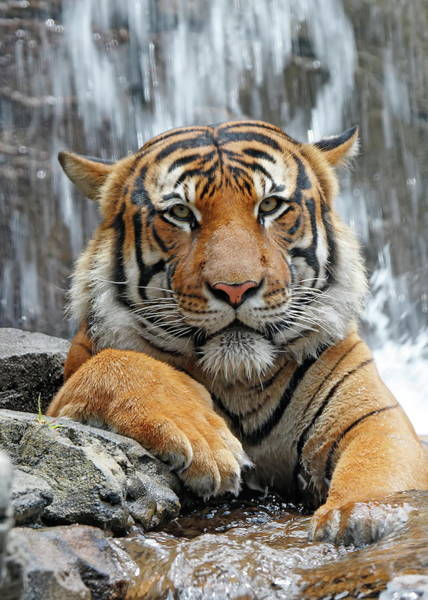 Nfs Photograph - Resting Tiger by Daniel Caracappa