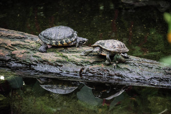 Photograph - Resting Turtles On A  Log by Michael Bessler