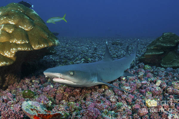 Triaenodon Obesus Photograph - Resting Whitetip Reef Shark Over Field by Mathieu Meur