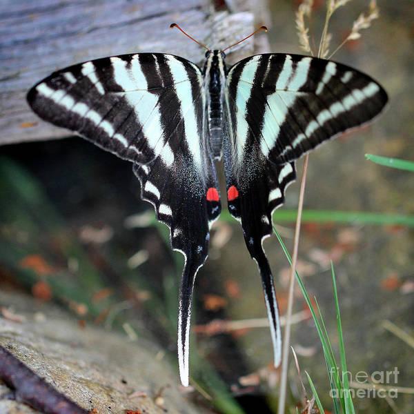 Photograph - Resting Zebra Swallowtail Butterfly Square by Karen Adams