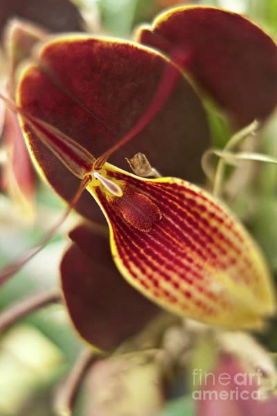 Photograph - Restrepia Iris Orchid by Heiko Koehrer-Wagner