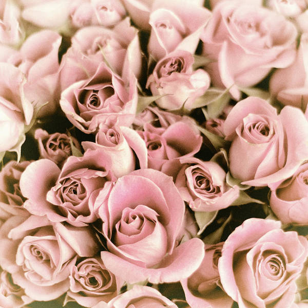 Photograph - Reticent Rose by Jessica Jenney