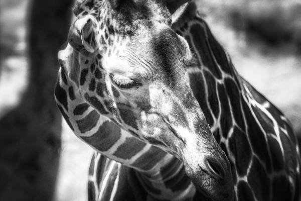 Photograph - Reticulated Giraffe Bw by Belinda Greb