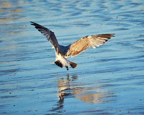 Photograph - Revere Beach Seagull Coming In For A Landing by Toby McGuire