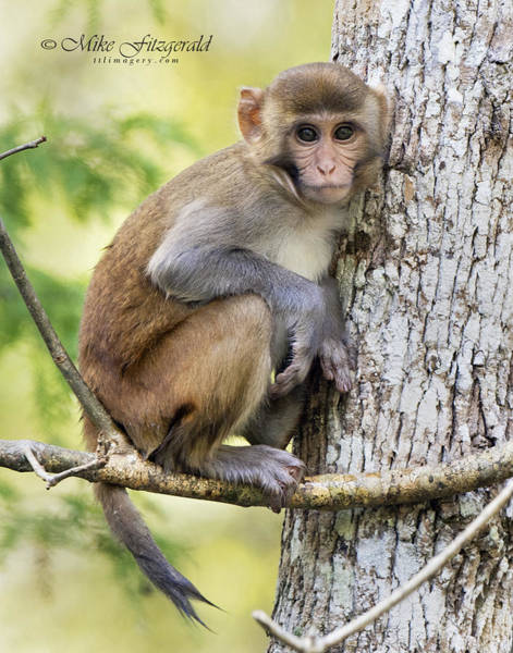 Photograph - Rhesus Youngster by Mike Fitzgerald
