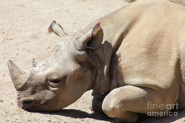 Wall Art - Photograph - Rhinoceros At The San Francisco Zoo San Francisco California 5d3223 by Wingsdomain Art and Photography