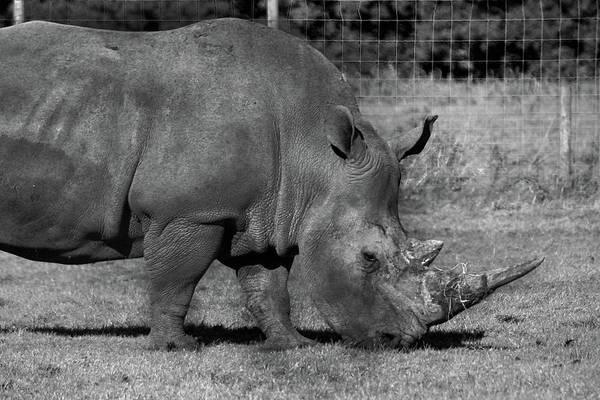 Photograph - Rhinoceros - Knowsley Safari Park by Doc Braham