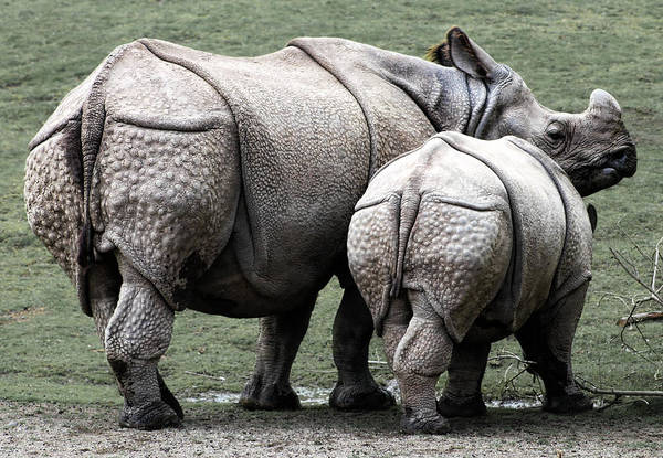 Wall Art - Photograph - Rhinoceros Mother And Calf In Wild by Daniel Hagerman