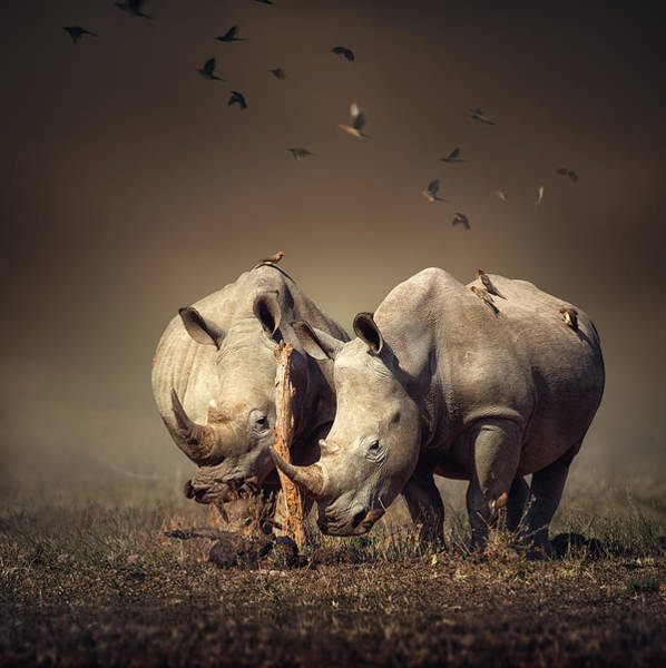 Wild Grass Photograph - Rhino's With Birds by Johan Swanepoel