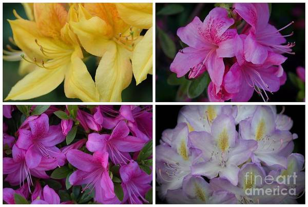 Photograph - Rhodies Combo by Patricia Strand