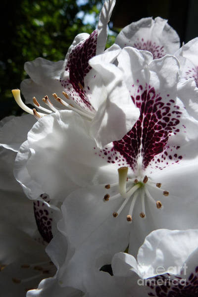Photograph - Rhododendron 1 by Jean Bernard Roussilhe