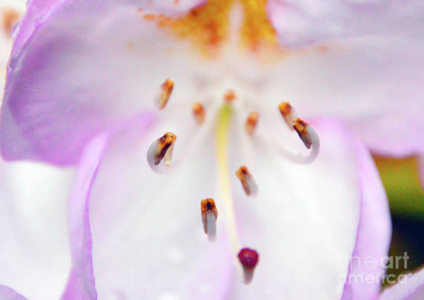 Photograph - Rhododendron Blossom Too by Brian O'Kelly