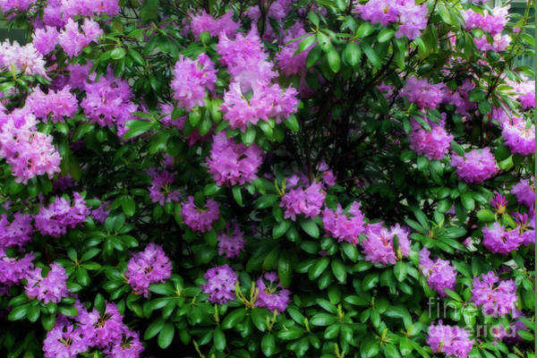 Photograph - Rhododendron Bush by Dan Friend