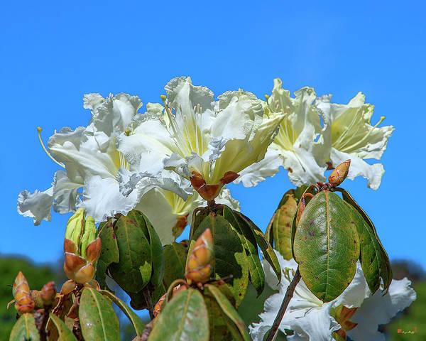 Rhododendron Ciliicalyx Dthn0213 Art Print