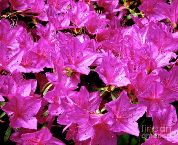 Photograph - Rhododendron Flowers Macro Highland Park Rochester New York by Rose Santuci-Sofranko