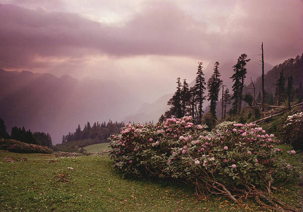 Photograph - Rhododendron, Ming Thach, 1989 by Hitendra SINKAR