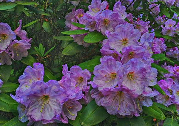 Photograph - Rhododendron In Bloom by Frank G Montoya