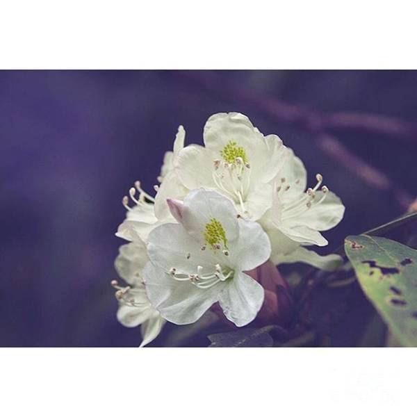 Macro Photograph - Rhododendron In Bloom  Middle Prong by Larry Braun