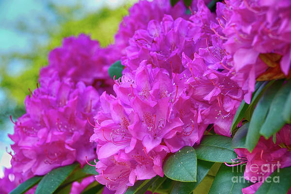 Photograph - Rhododendron In Pink by Eva-Maria Di Bella