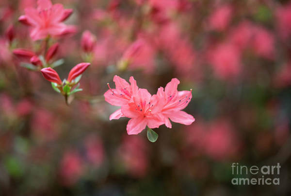 Wall Art - Photograph - Rhododendron Kaempferi by Tim Gainey