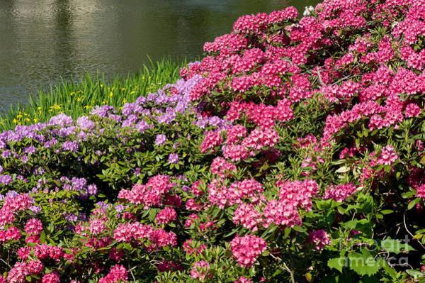 Azalia Photograph - Rhododendron Named Azalea Abloom Park In Warsaw  by Arletta Cwalina