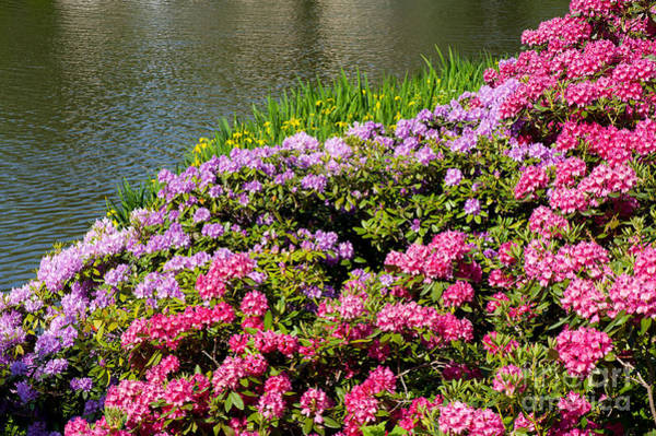 Azalia Photograph - Rhododendron Or Azalea Luxuriant Park In Warsaw  by Arletta Cwalina