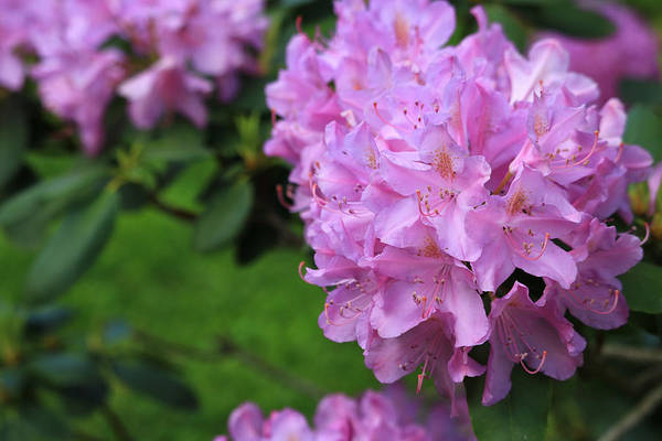 Photograph - Rhododendron by Rick Morgan