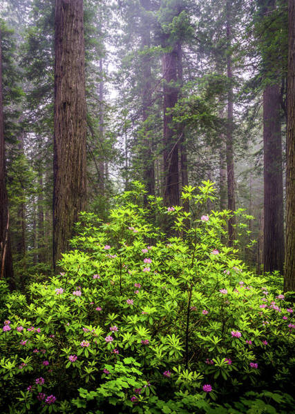Photograph - Rhododendrons And Redwoods by TL Mair