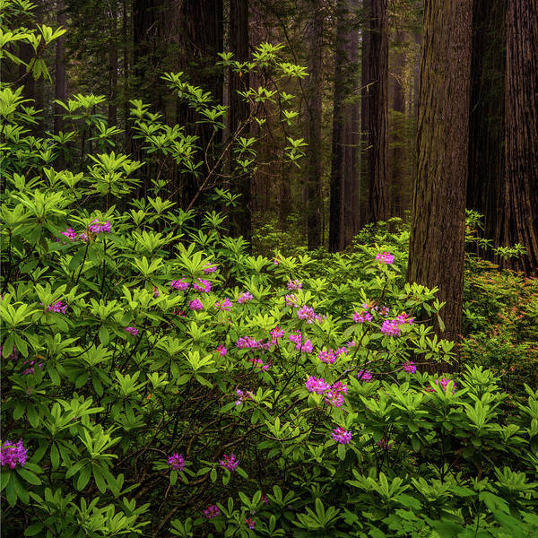 Photograph - Rhododendrons by TL Mair