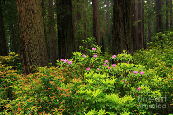 Redwoods Photograph - Rhodys And Redwood by Mike Dawson