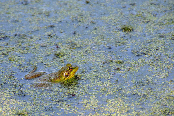 Bullfrog Photograph - Ribbit by Sandi Kroll