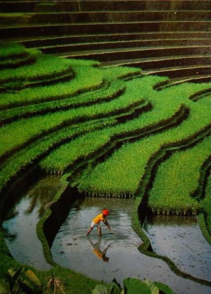Photograph - Rice Fields-bali by Duncan Davies
