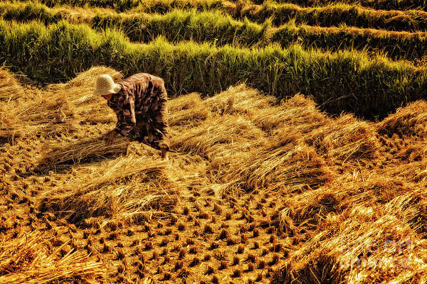Photograph - Rice Harvest by Scott Kemper