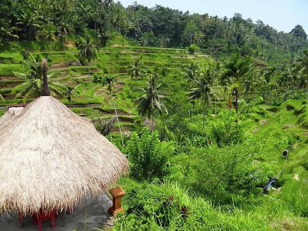 Photograph - Rice Terraces by Exploramum Exploramum