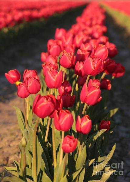 Photograph - Rich Red Tulips by Carol Groenen