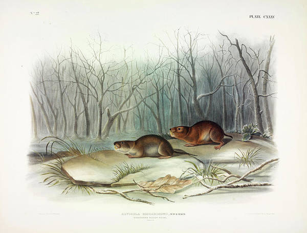 Ferrets Wall Art - Painting - Richardson's Meadow Mouse by John James Audubon