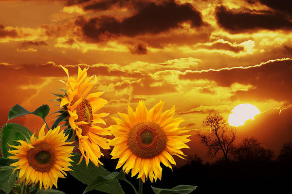 Photograph - Riches Beyond Compare - Sunflower Sunset by Gill Billington