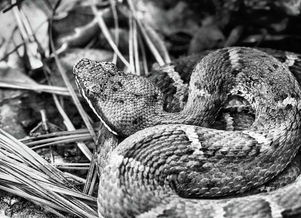 Photograph - Ridge Nosed Rattlesnake In Black And White by JC Findley