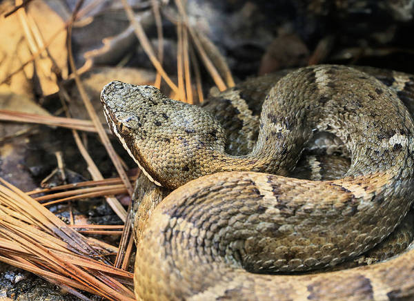 Photograph - Ridge Nosed Rattlesnake by JC Findley