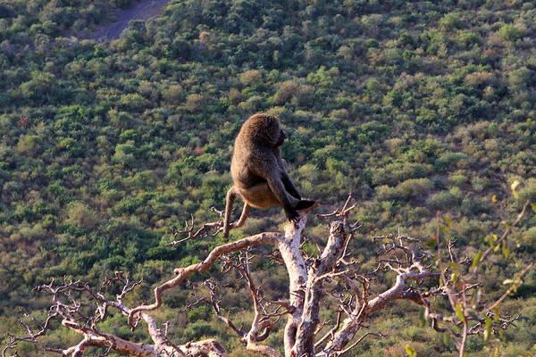 Photograph - Rift Valley Baboon by Aidan Moran