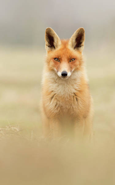 Intimate Portrait Wall Art - Photograph - Right Into Your Soul - Red Fox by Roeselien Raimond