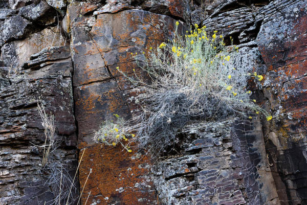 Photograph - Rim Rock Rabbitbrush by Robert Potts