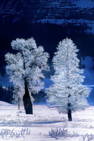 Photograph - Rime Ice On Fremont Cottonwoods Winter Yellowstone National Park Wyoming by Dave Welling