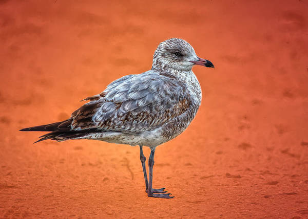 Photograph - Ring Billed Gull On Orange Background by John M Bailey