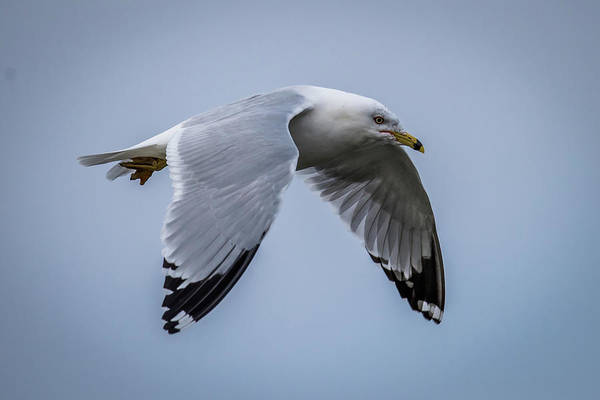Wall Art - Photograph - Ring Billed Gull by Paul Freidlund