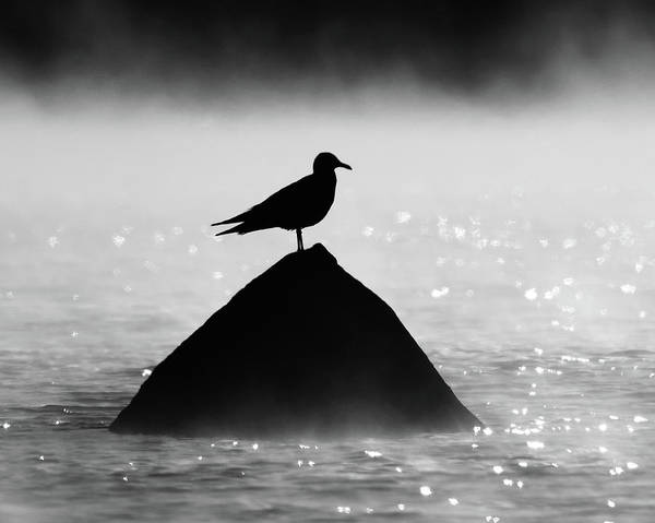 Photograph - Ring-billed Gull Silhouette by Ken Stampfer