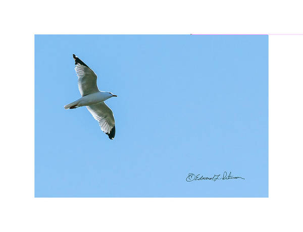 Photograph - Ring-billed Gull Soaring by Edward Peterson